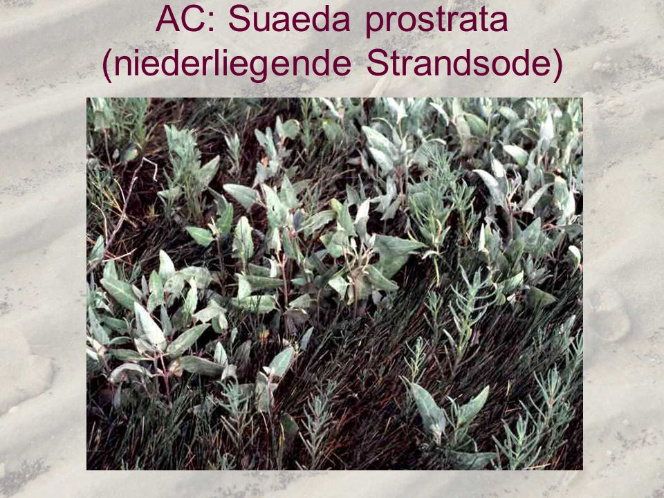 AC: Suaeda prostrata (niederliegende Strandsode)