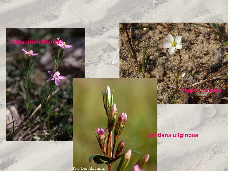 Centaurium littorale Sagina nodosa Gentiana uliginosa
