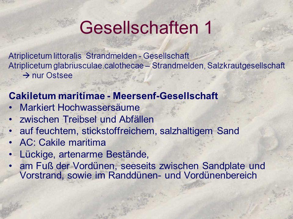 Gesellschaften 1 Cakiletum maritimae - Meersenf-Gesellschaft