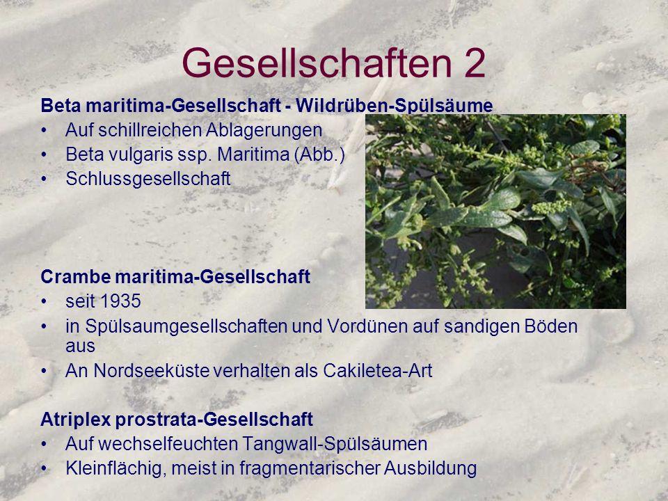 Gesellschaften 2 Beta maritima-Gesellschaft - Wildrüben-Spülsäume