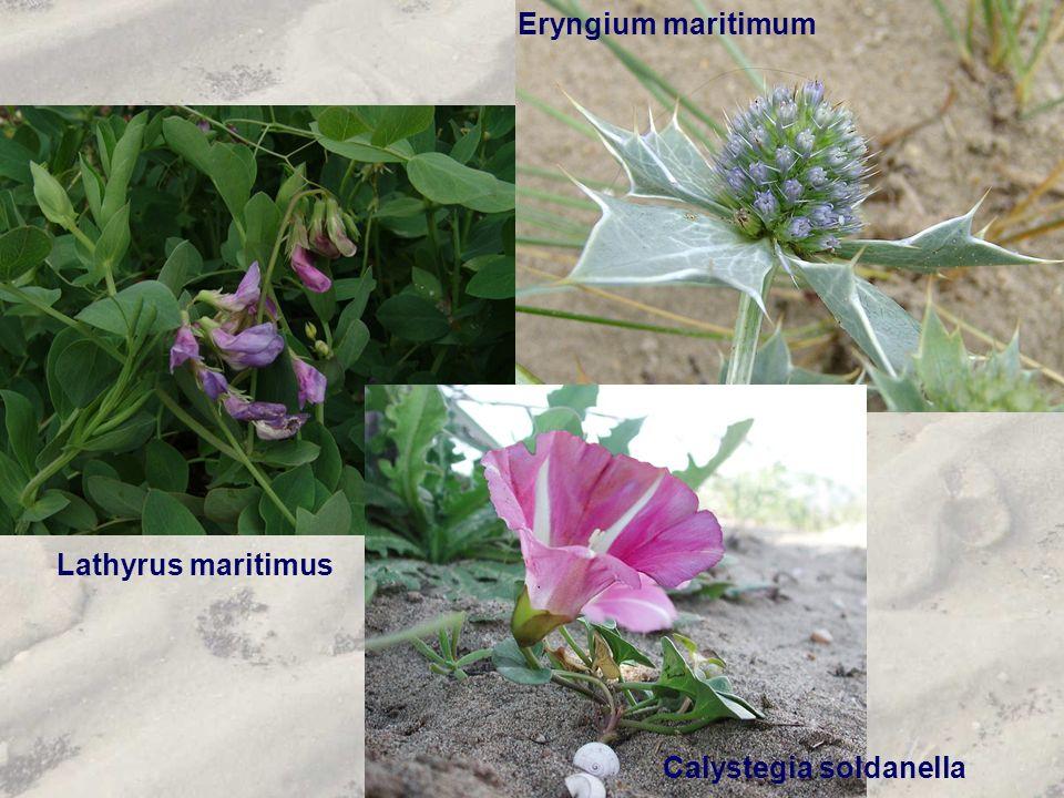 Eryngium maritimum Lathyrus maritimus Calystegia soldanella