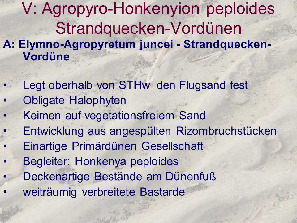 V: Agropyro-Honkenyion peploides Strandquecken-Vordünen