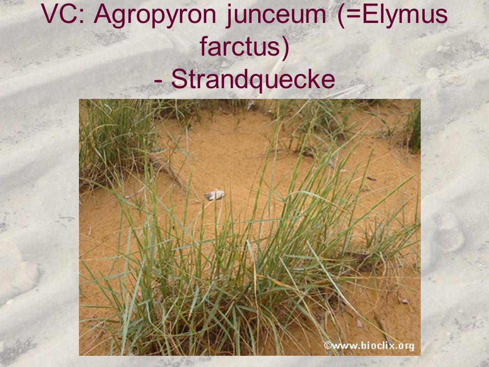 VC: Agropyron junceum (=Elymus farctus) - Strandquecke