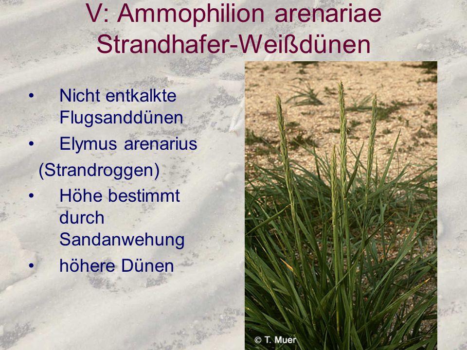 V: Ammophilion arenariae Strandhafer-Weißdünen