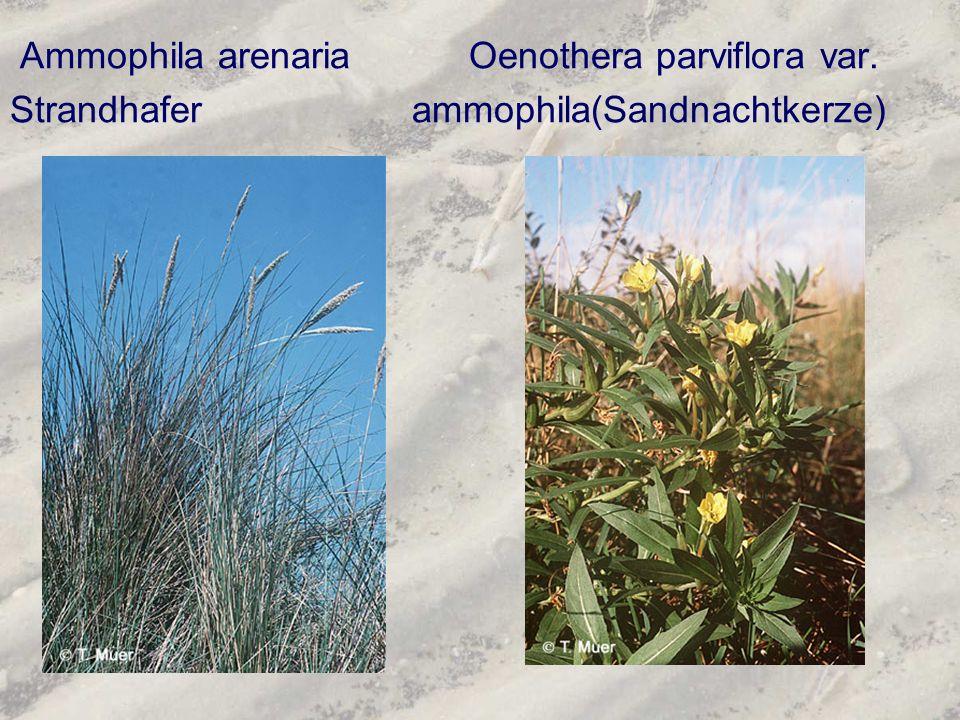 Ammophila arenaria Oenothera parviflora var.