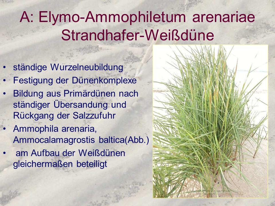 A: Elymo-Ammophiletum arenariae Strandhafer-Weißdüne