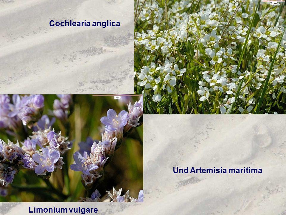 Cochlearia anglica Und Artemisia maritima Limonium vulgare