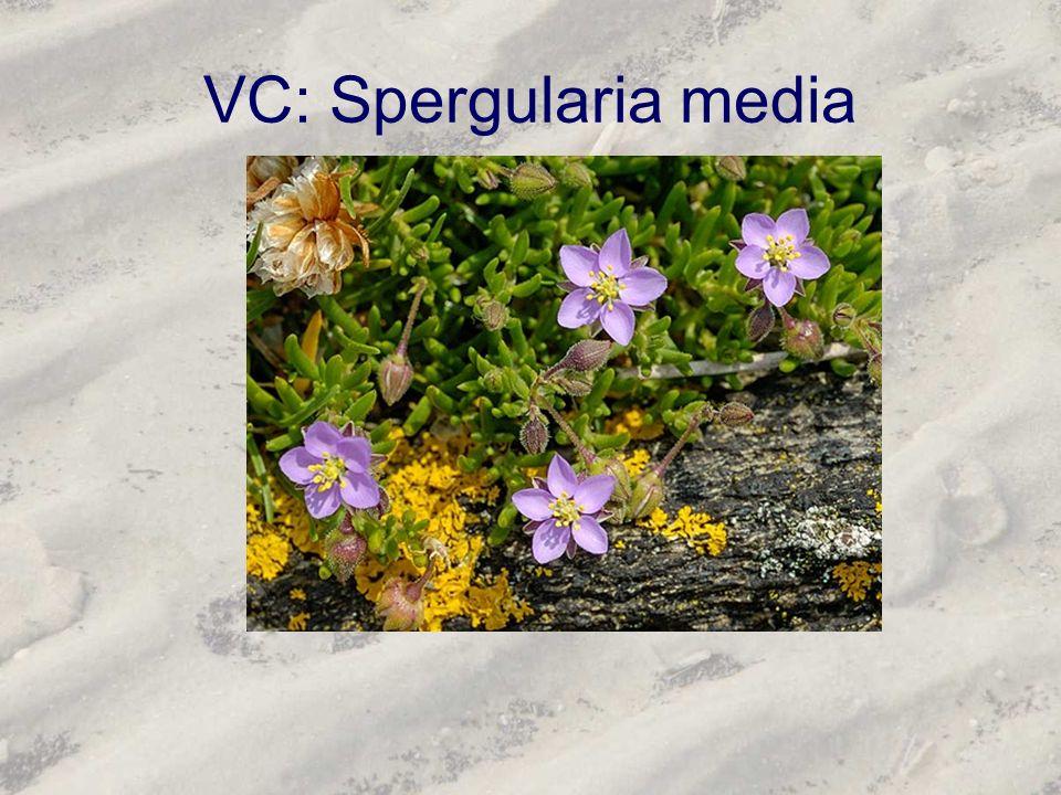 VC: Spergularia media