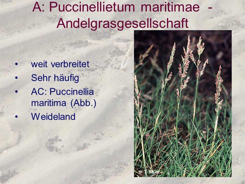 A: Puccinellietum maritimae - Andelgrasgesellschaft