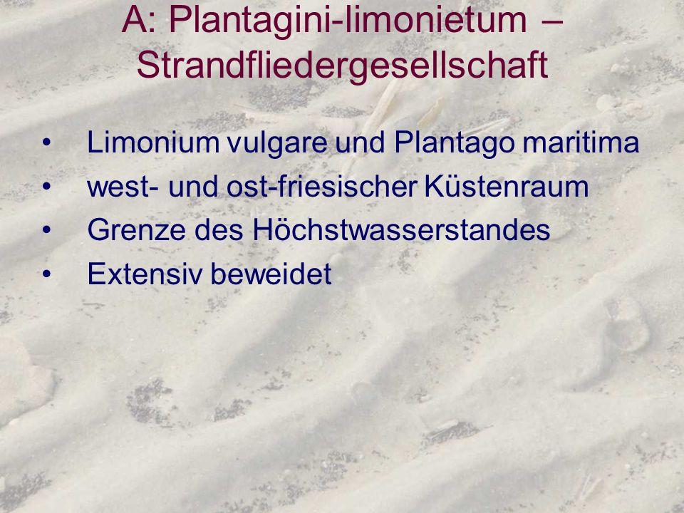 A: Plantagini-limonietum –Strandfliedergesellschaft