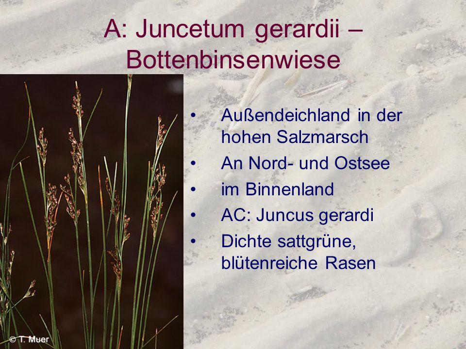 A: Juncetum gerardii – Bottenbinsenwiese