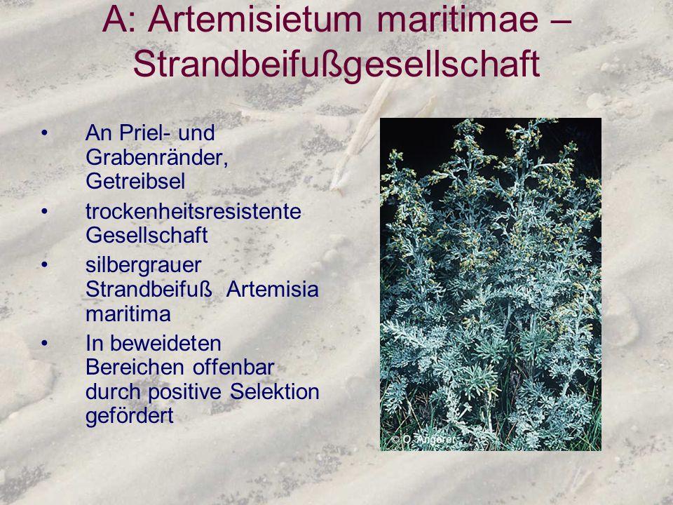 A: Artemisietum maritimae – Strandbeifußgesellschaft