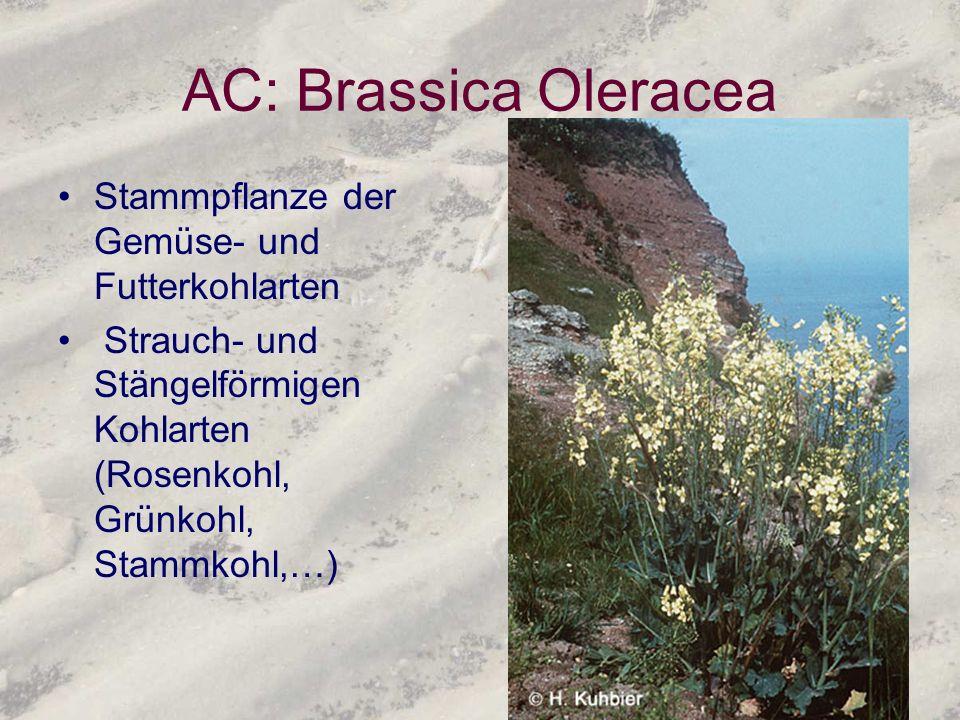 AC: Brassica Oleracea Stammpflanze der Gemüse- und Futterkohlarten
