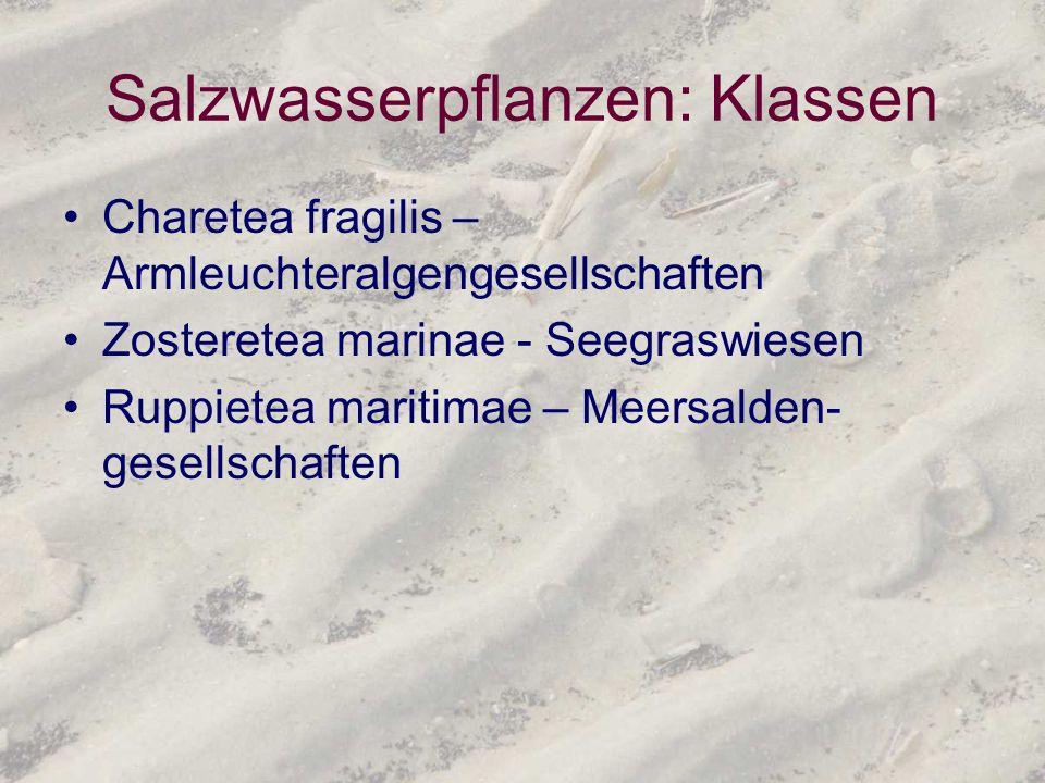 Salzwasserpflanzen: Klassen