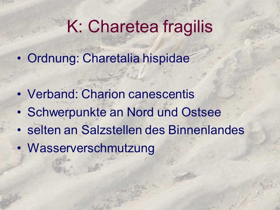 K: Charetea fragilis Ordnung: Charetalia hispidae