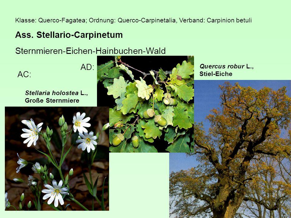 Ass. Stellario-Carpinetum Sternmieren-Eichen-Hainbuchen-Wald