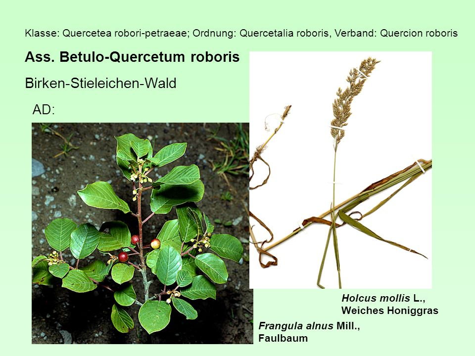 Ass. Betulo-Quercetum roboris Birken-Stieleichen-Wald
