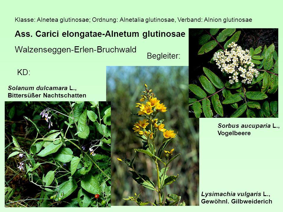 Ass. Carici elongatae-Alnetum glutinosae Walzenseggen-Erlen-Bruchwald