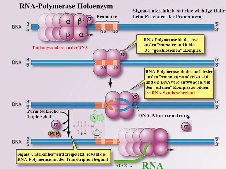 RNA RNA-Polymerase Holoenzym a b' b a DNA-Matrizenstrang