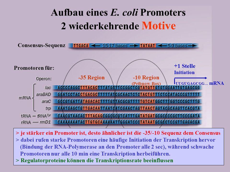Aufbau eines E. coli Promoters 2 wiederkehrende Motive