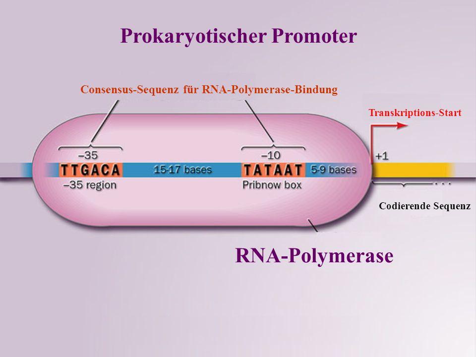 Prokaryotischer Promoter
