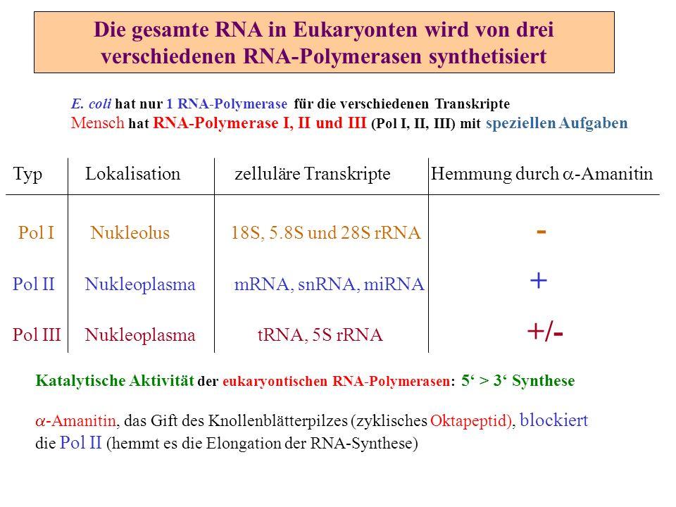 Die gesamte RNA in Eukaryonten wird von drei verschiedenen RNA-Polymerasen synthetisiert