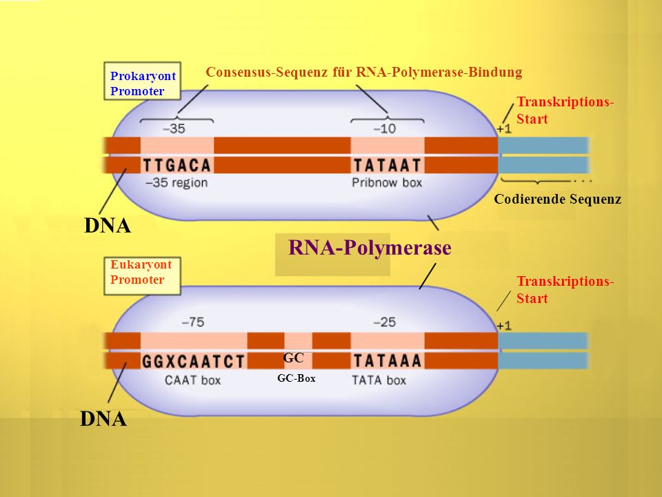 DNA RNA-Polymerase DNA Consensus-Sequenz für RNA-Polymerase-Bindung