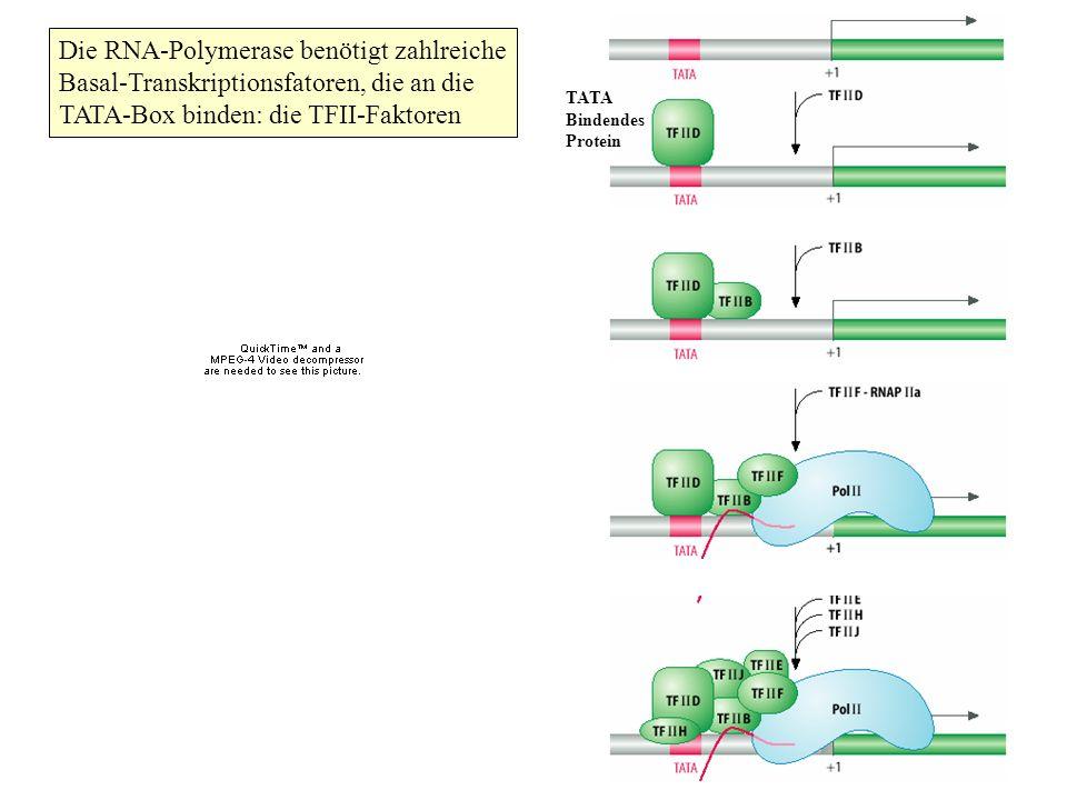 Die RNA-Polymerase benötigt zahlreiche