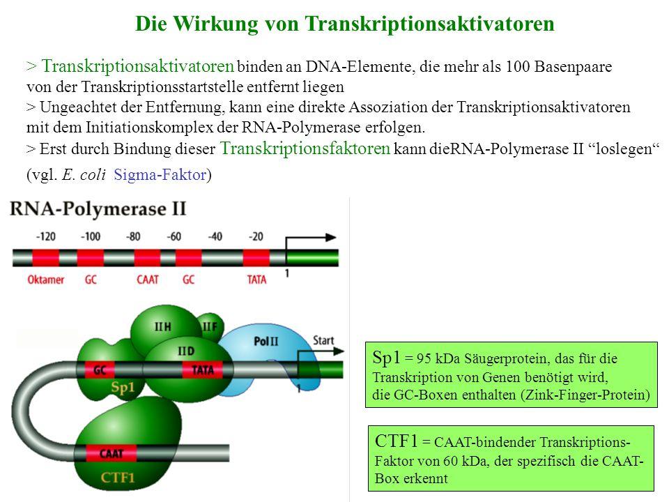 Die Wirkung von Transkriptionsaktivatoren
