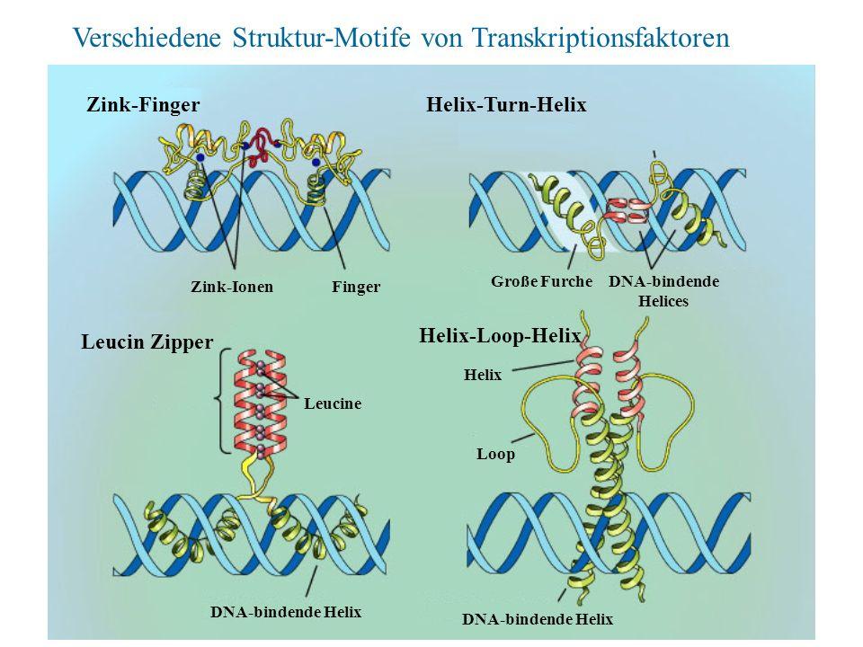Verschiedene Struktur-Motife von Transkriptionsfaktoren