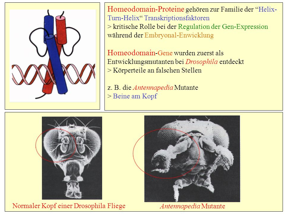 Homeodomain-Proteine gehören zur Familie der Helix-Turn-Helix Transkriptionsfaktoren