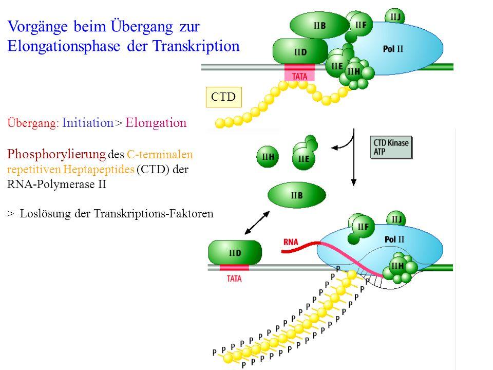 Vorgänge beim Übergang zur Elongationsphase der Transkription