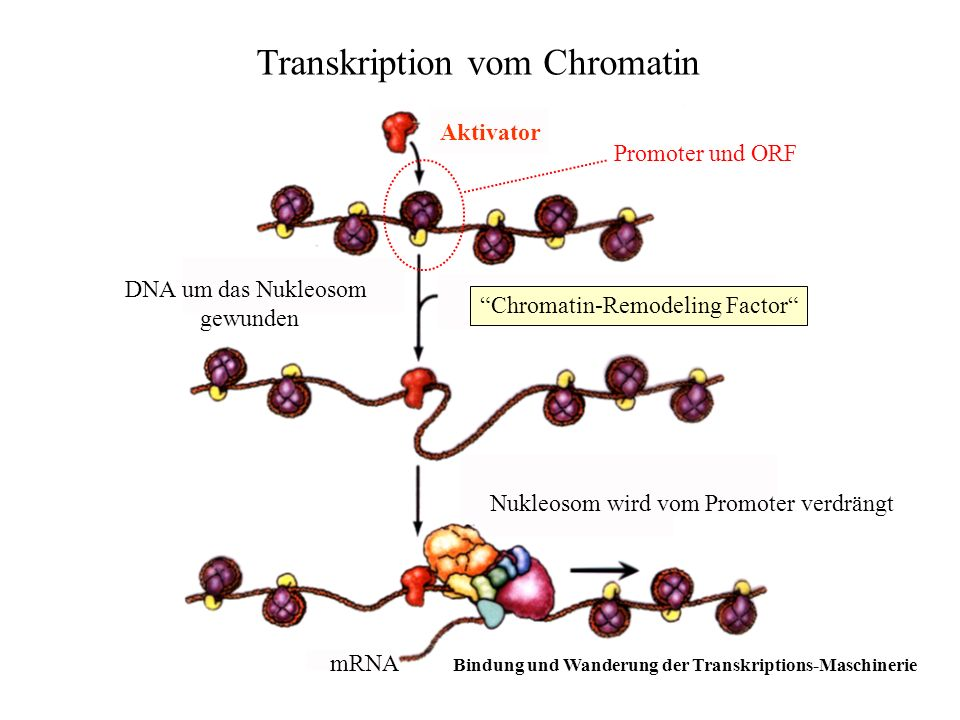 Transkription vom Chromatin