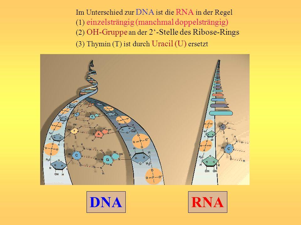 DNA RNA Im Unterschied zur DNA ist die RNA in der Regel