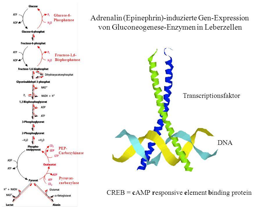 Adrenalin (Epinephrin)-induzierte Gen-Expression