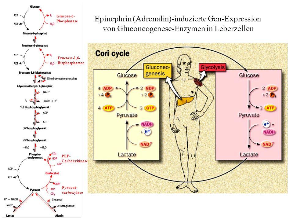 Epinephrin (Adrenalin)-induzierte Gen-Expression