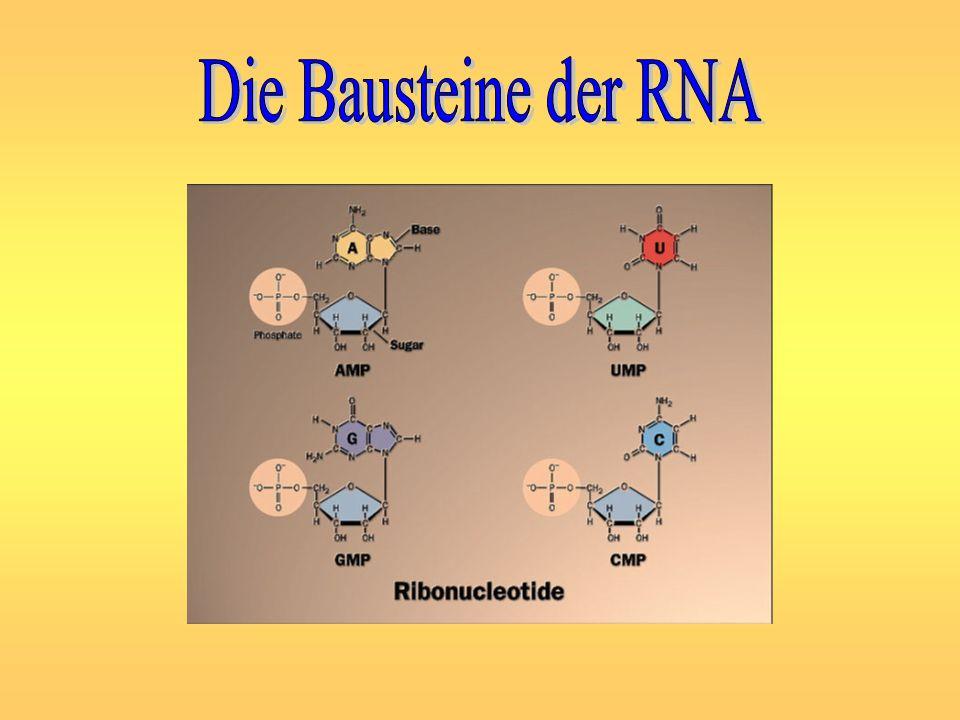 Die Bausteine der RNA