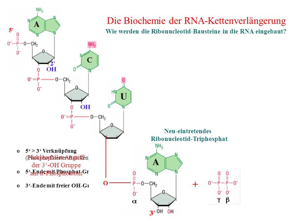 Wie werden die Ribonucleotid-Bausteine in die RNA eingebaut