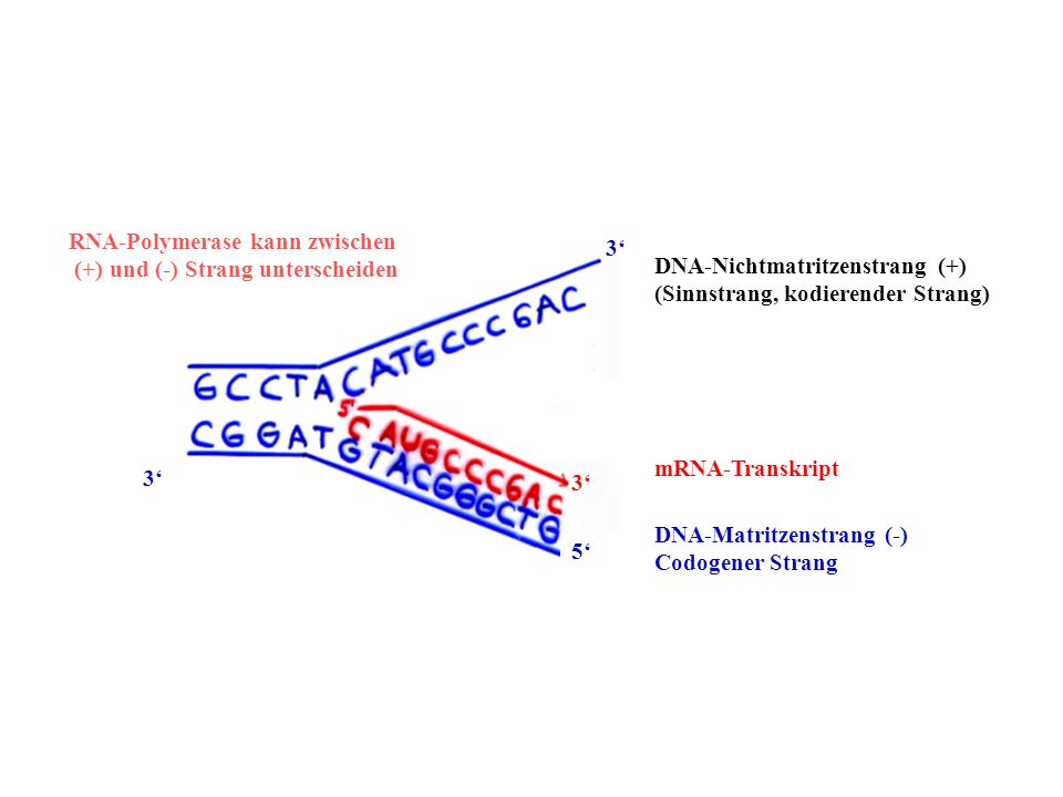 DNA-Nichtmatritzenstrang (+)