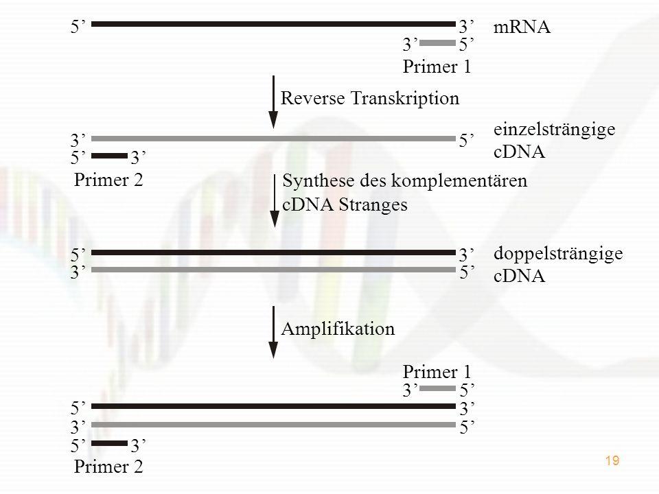 3' 5' mRNA. 3' 5' Primer 1. Reverse Transkription. 5' 3' einzelsträngige. cDNA. Primer 2.