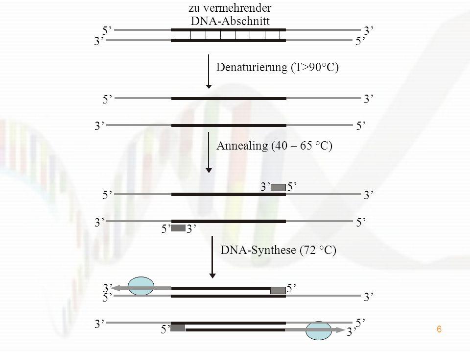 zu vermehrender DNA-Abschnitt. 5' 3' Denaturierung (T>90°C) 5' 3' Annealing (40 – 65 °C) 3' 5'