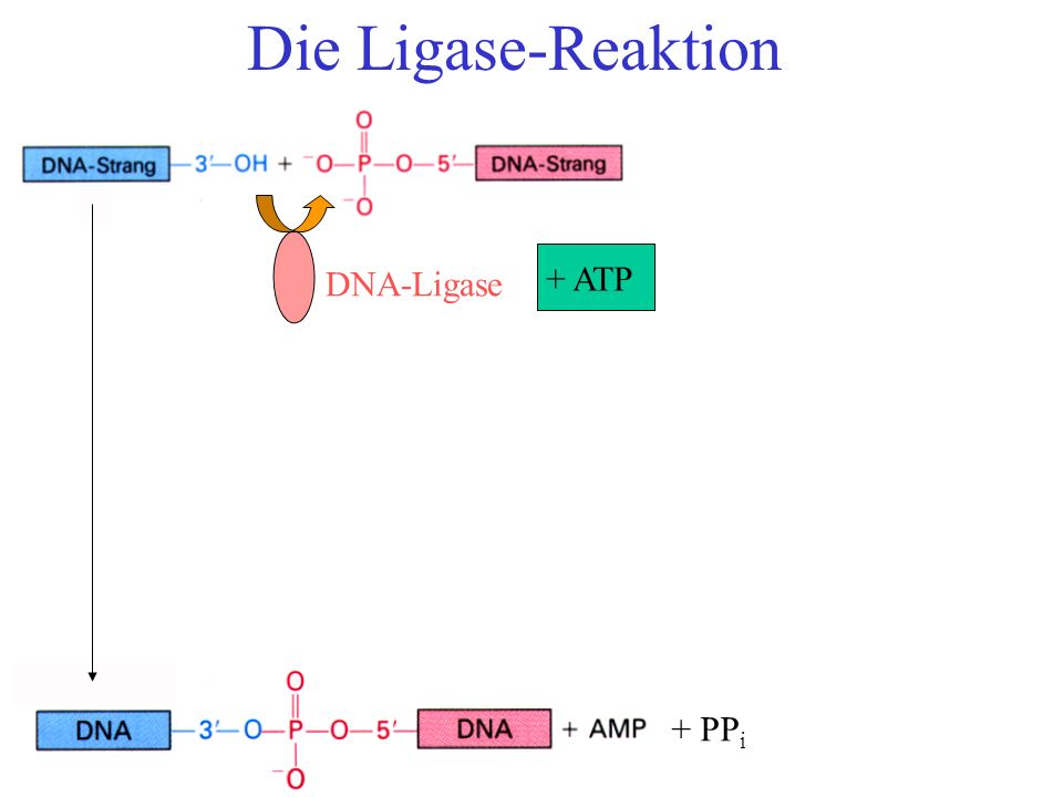 Die Ligase-Reaktion DNA-Ligase + ATP + PPi