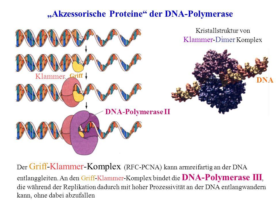 """""""Akzessorische Proteine der DNA-Polymerase"""