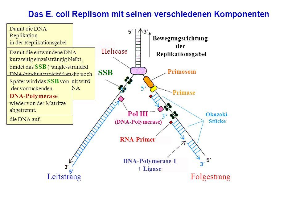 Das E. coli Replisom mit seinen verschiedenen Komponenten