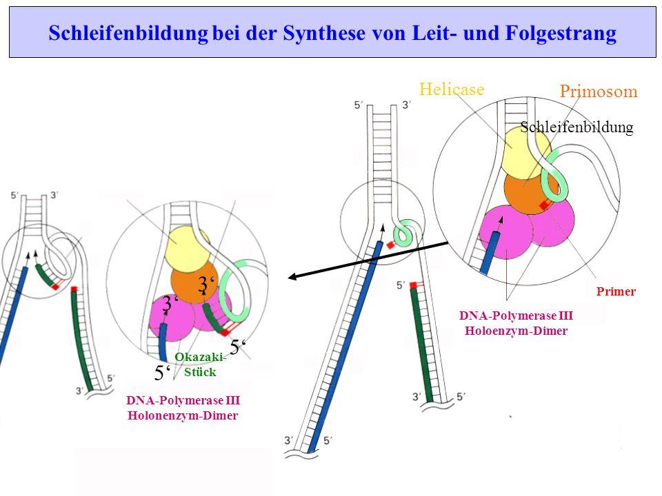 Schleifenbildung bei der Synthese von Leit- und Folgestrang