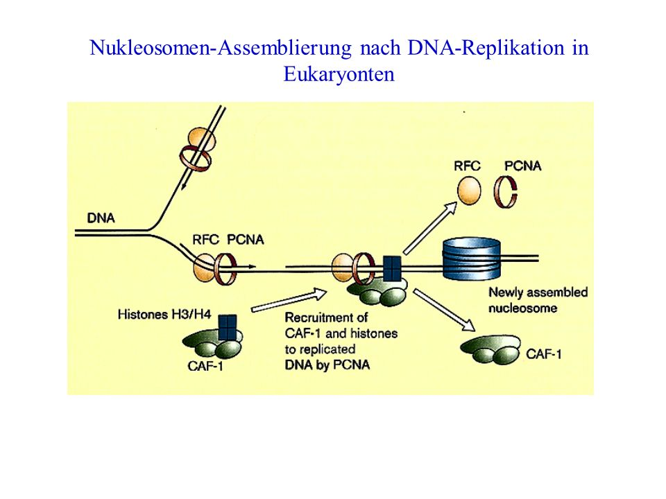 Nukleosomen-Assemblierung nach DNA-Replikation in Eukaryonten