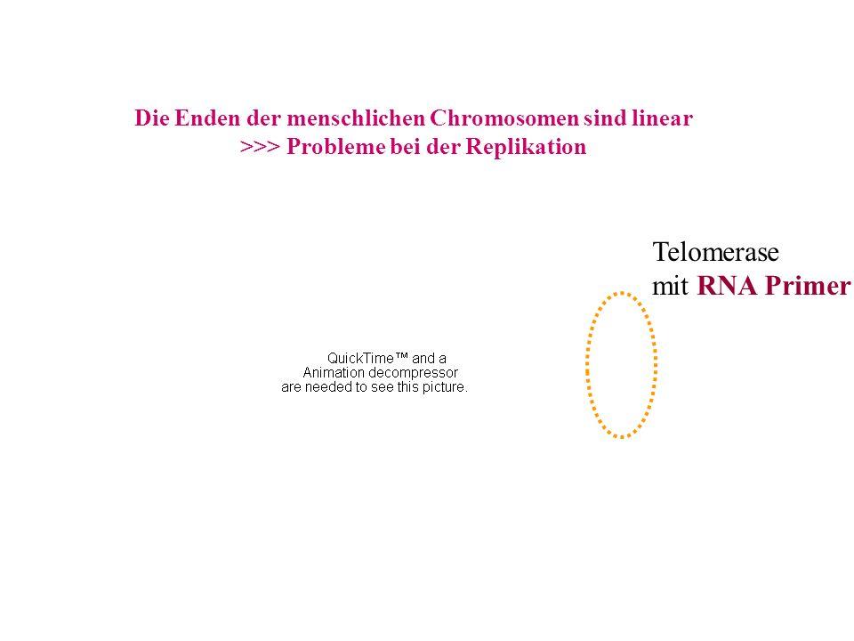 Telomerase mit RNA Primer