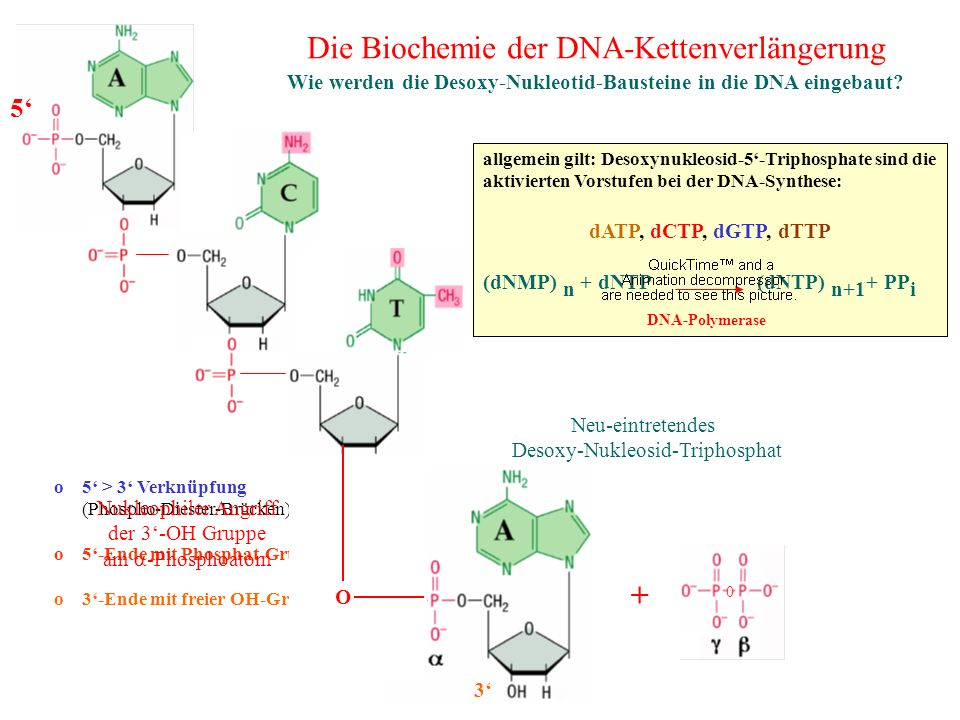 Wie werden die Desoxy-Nukleotid-Bausteine in die DNA eingebaut