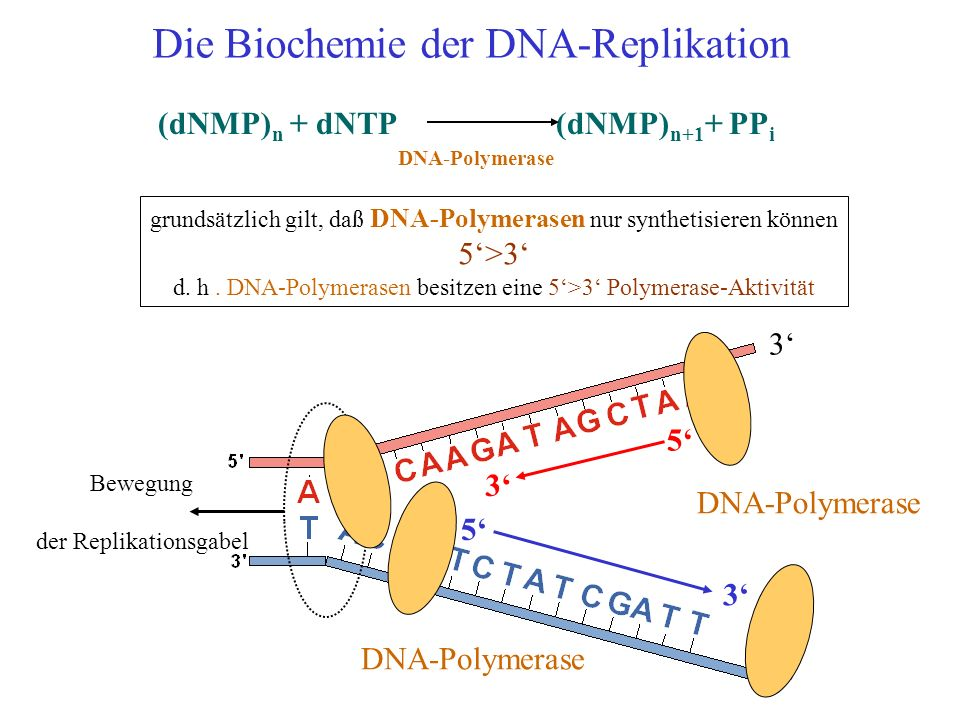 Die Biochemie der DNA-Replikation