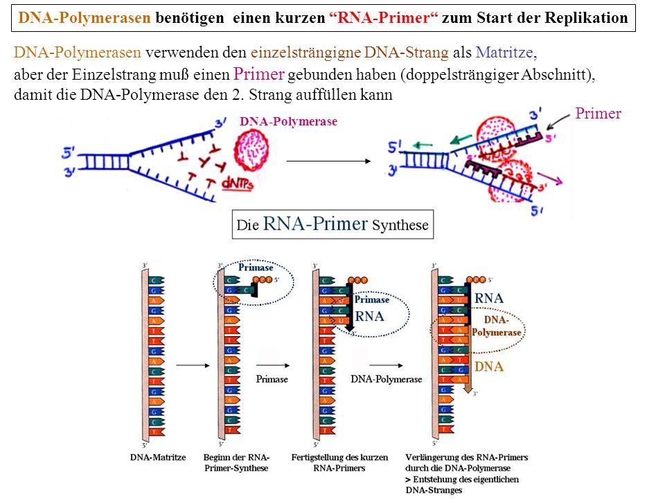 damit die DNA-Polymerase den 2. Strang auffüllen kann